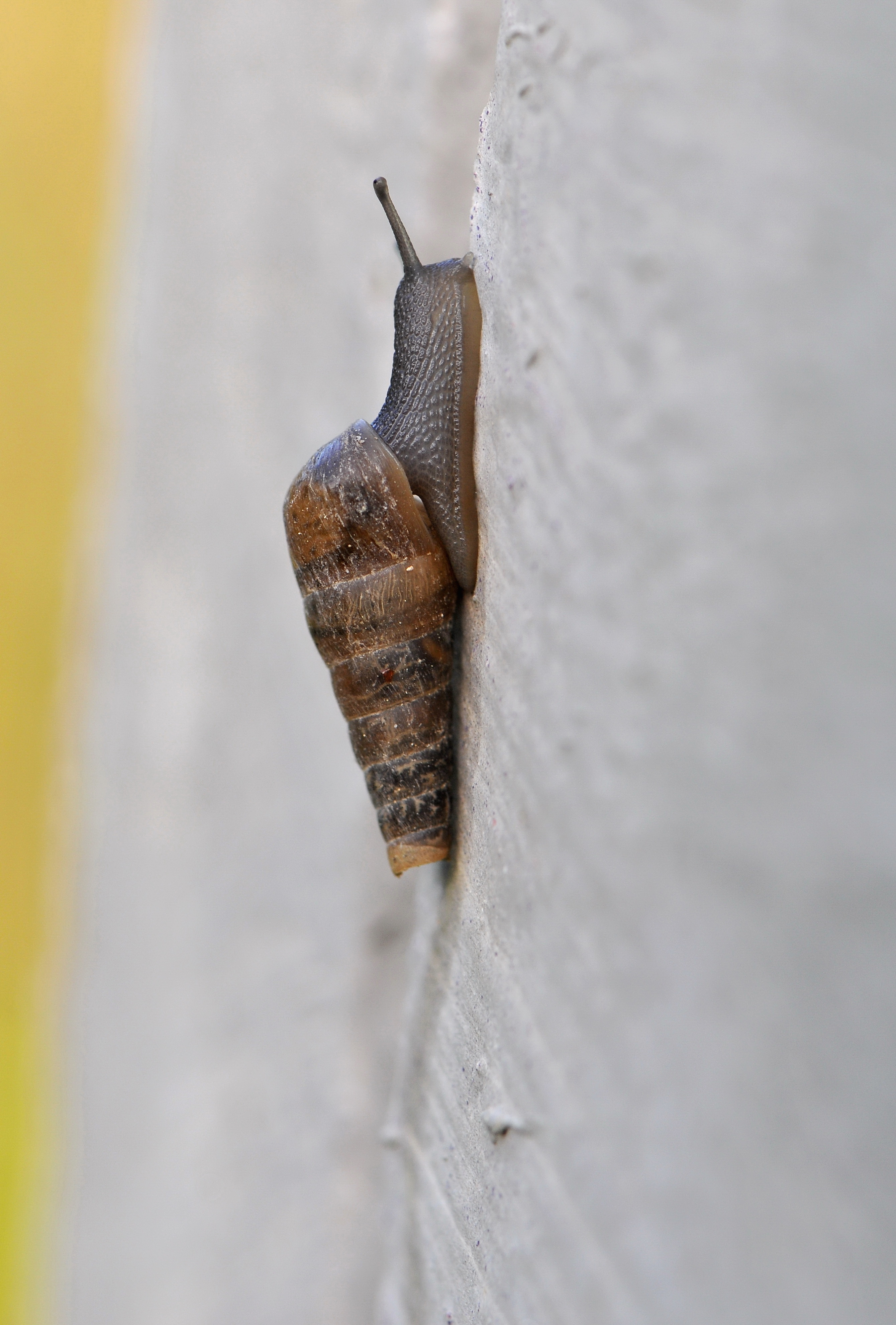 Image of Decollate snail