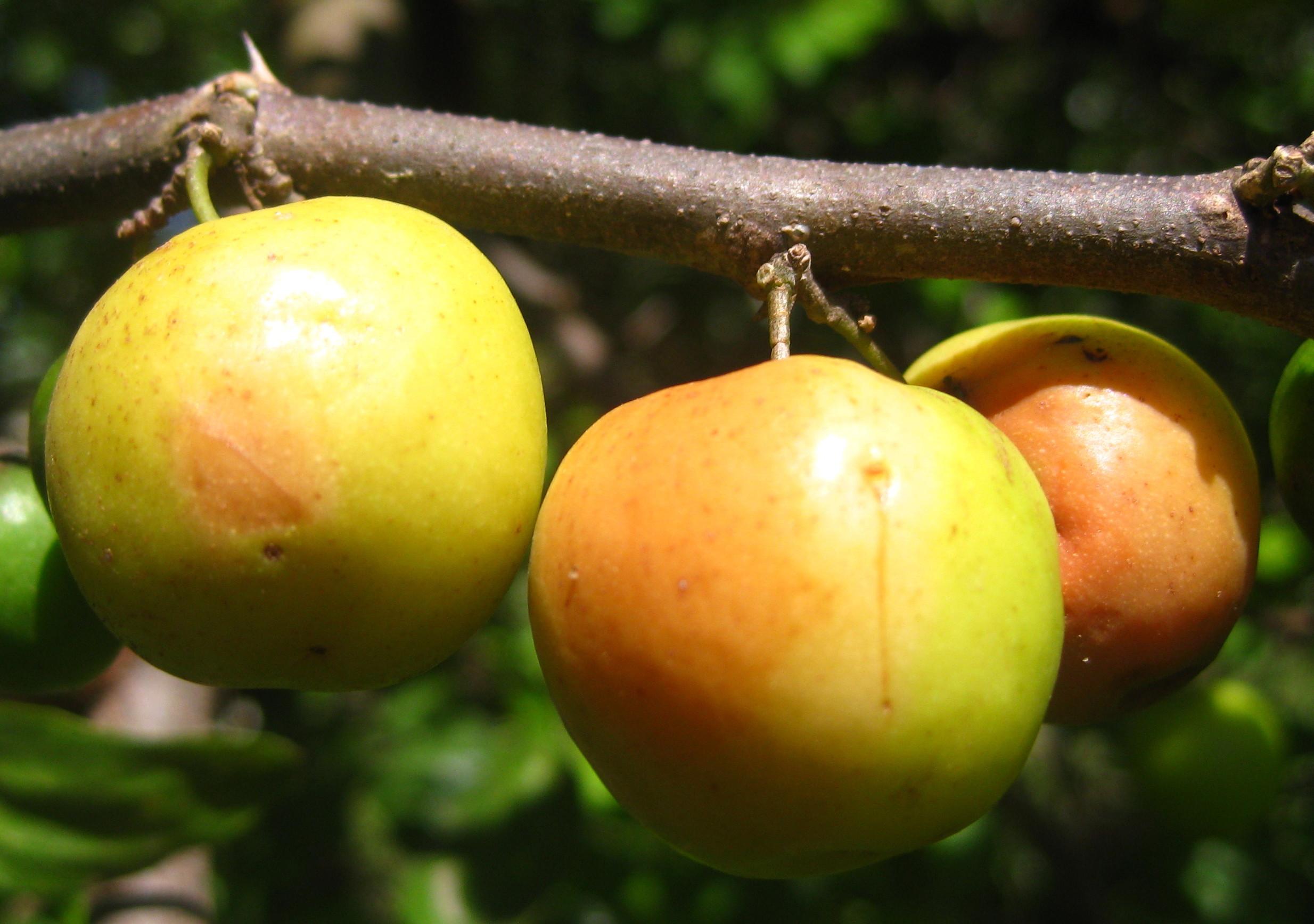 Image of <i>Ziziphus mauritiana</i>