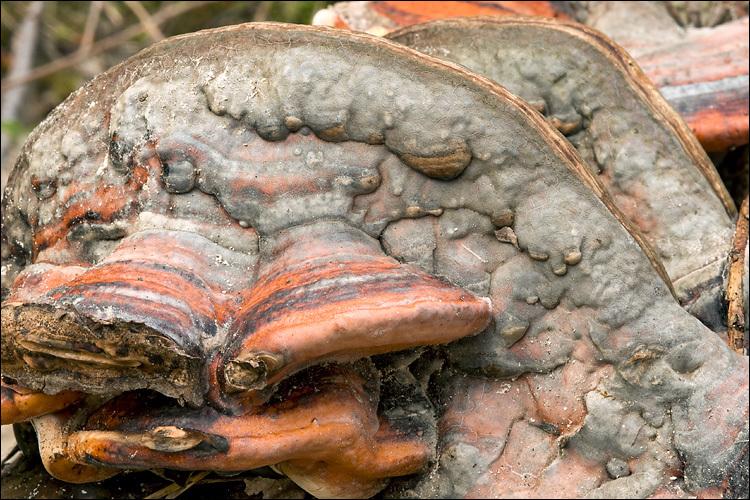 Image of Red-banded bracket