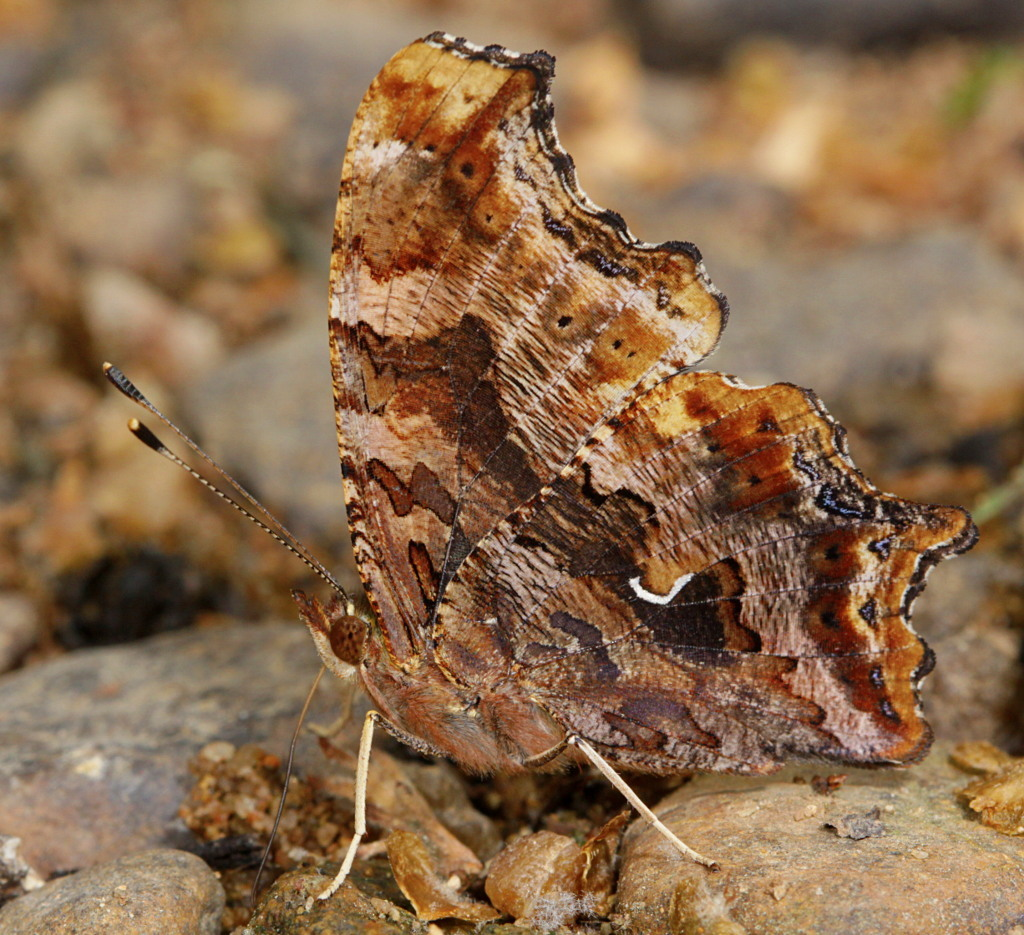 Image of Eastern Comma
