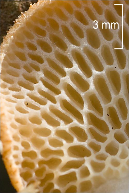 Image of Hexagonal-pored polypore
