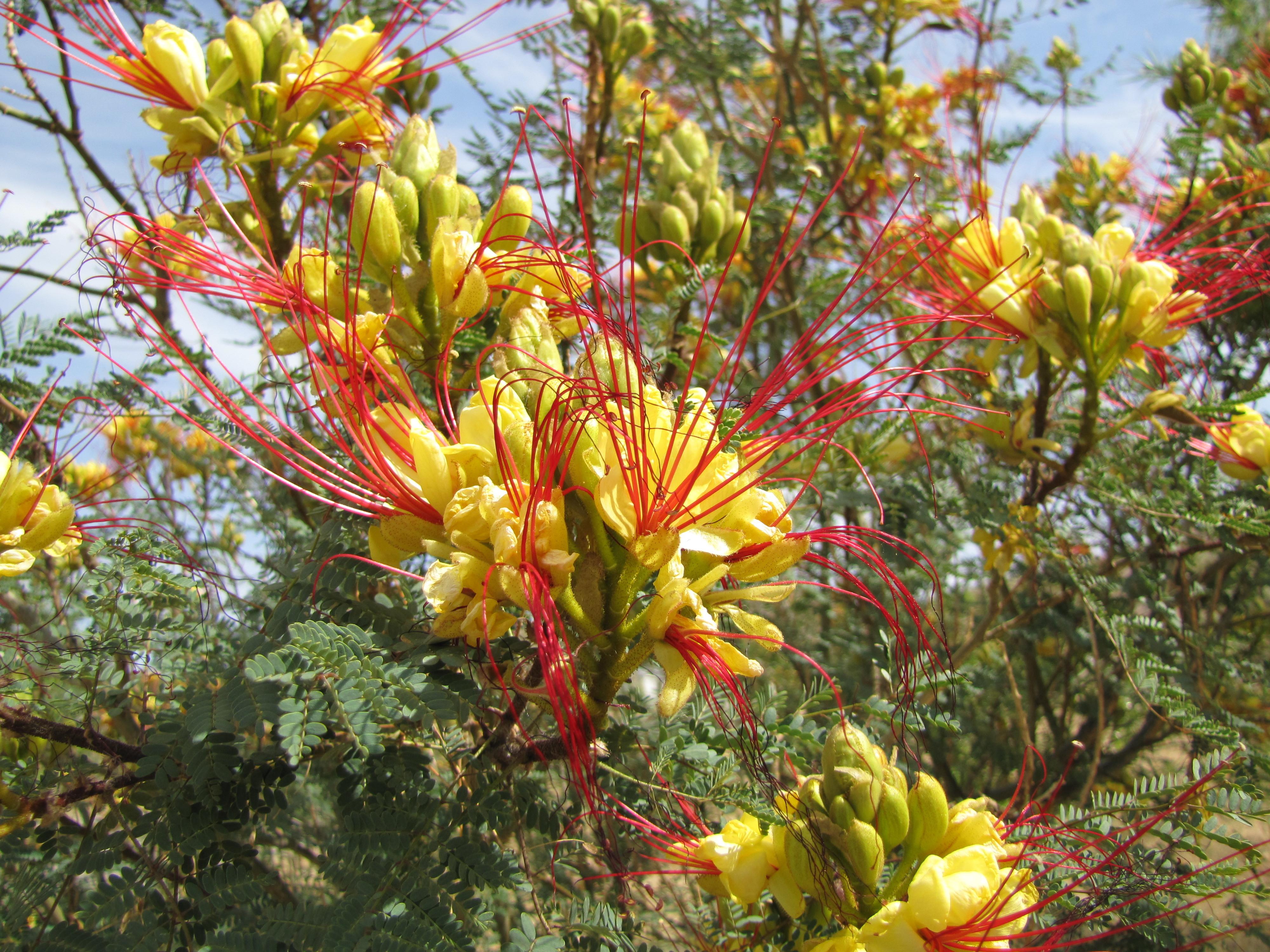 Image of bird-of-paradise shrub