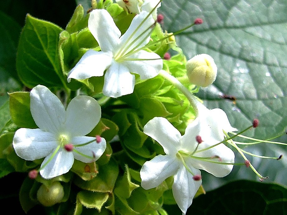 Image of <i>Clerodendrum chinense</i> var. <i>simplex</i>