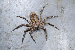Image of <i>Selenops formosanus</i>