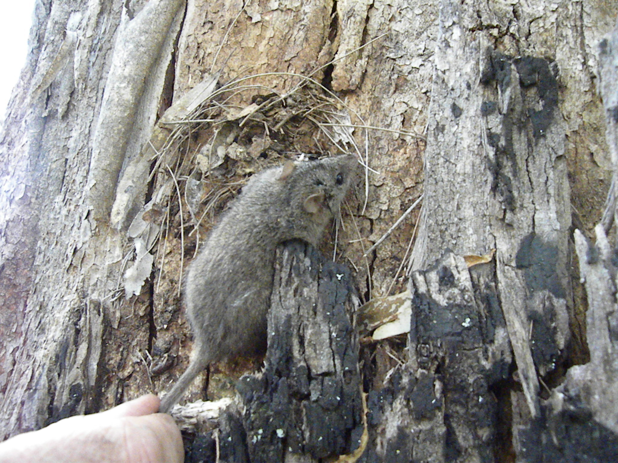 Image of Dusky Antechinus