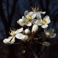 Image of <i>Prunus <i>spinosa</i></i> ssp. spinosa