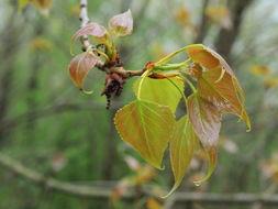 Image of black poplar
