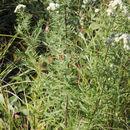 Image of Virginia mountainmint