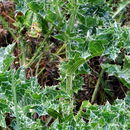 Image of milk thistle
