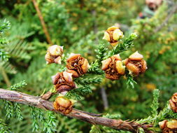 Image of Patagonian Cypress