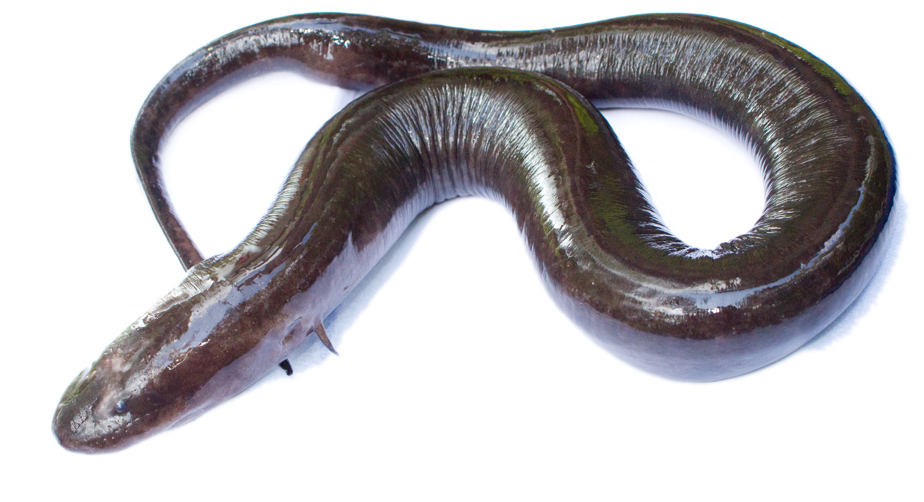 Image of Two-toed Amphiuma