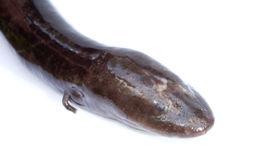 Image of Two-toed Amphiuma