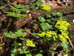Image of alternate-leaf golden saxifrage