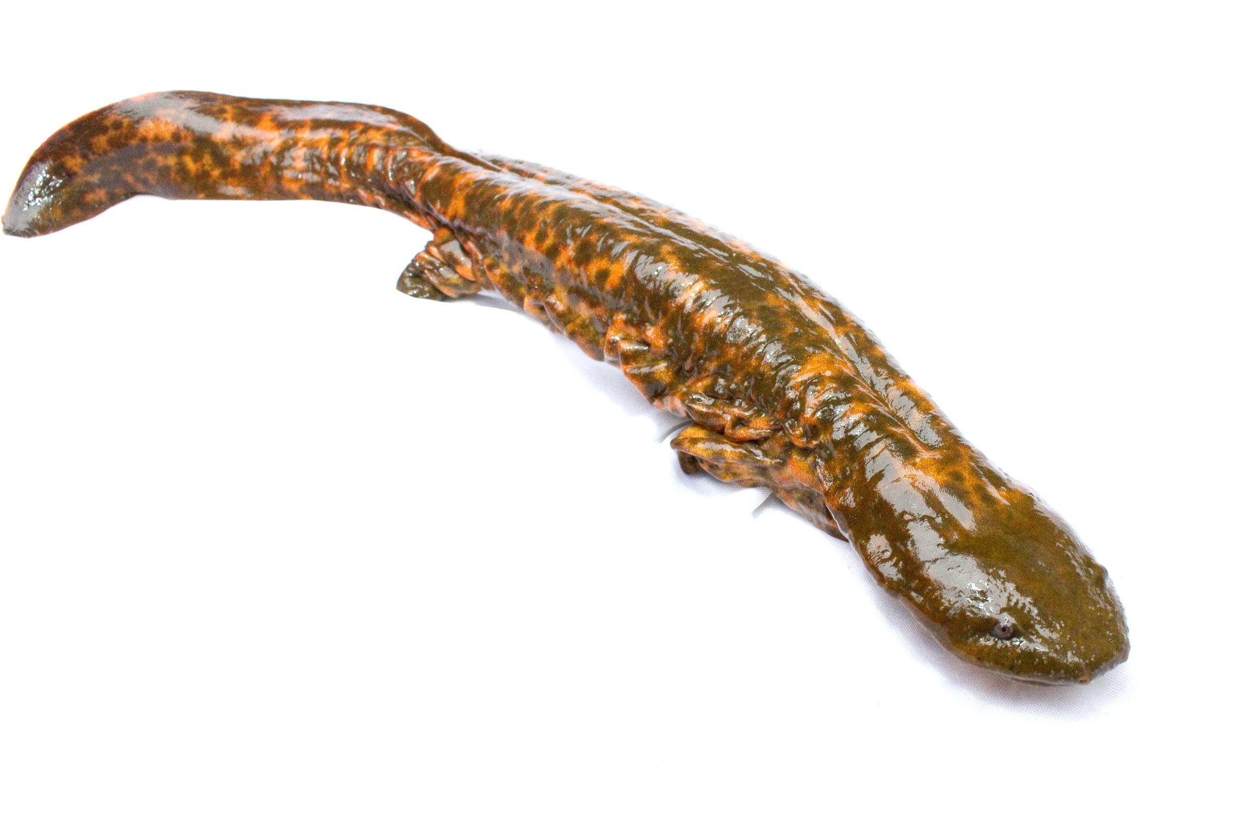 Image of Hellbender