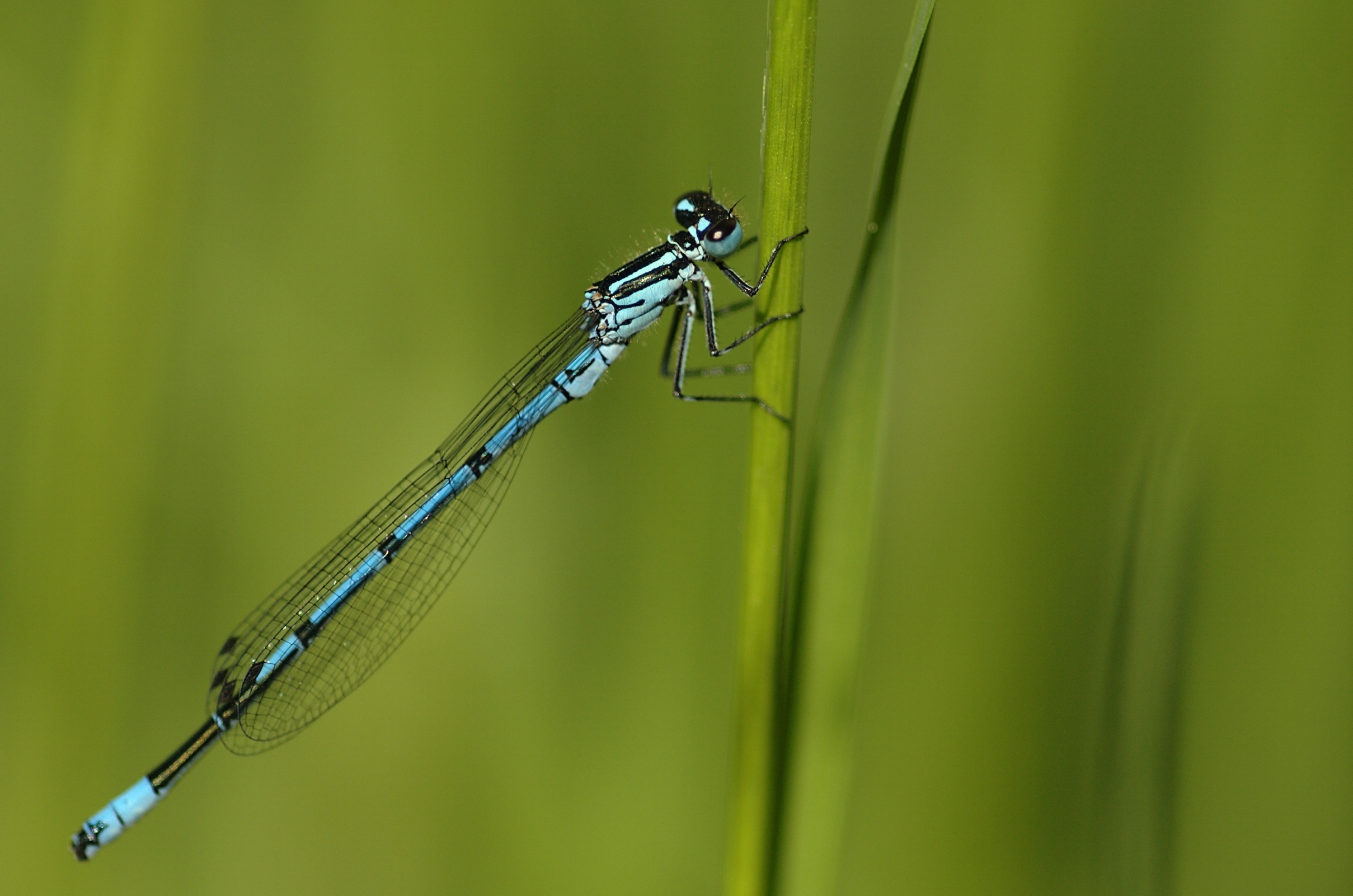 Image of Azure Bluet