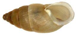 Image of <i>Mastus pupa</i>