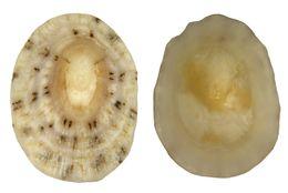 Image of <i>Patelloidea pustulata</i>