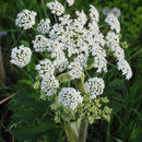 Image of cow parsnip