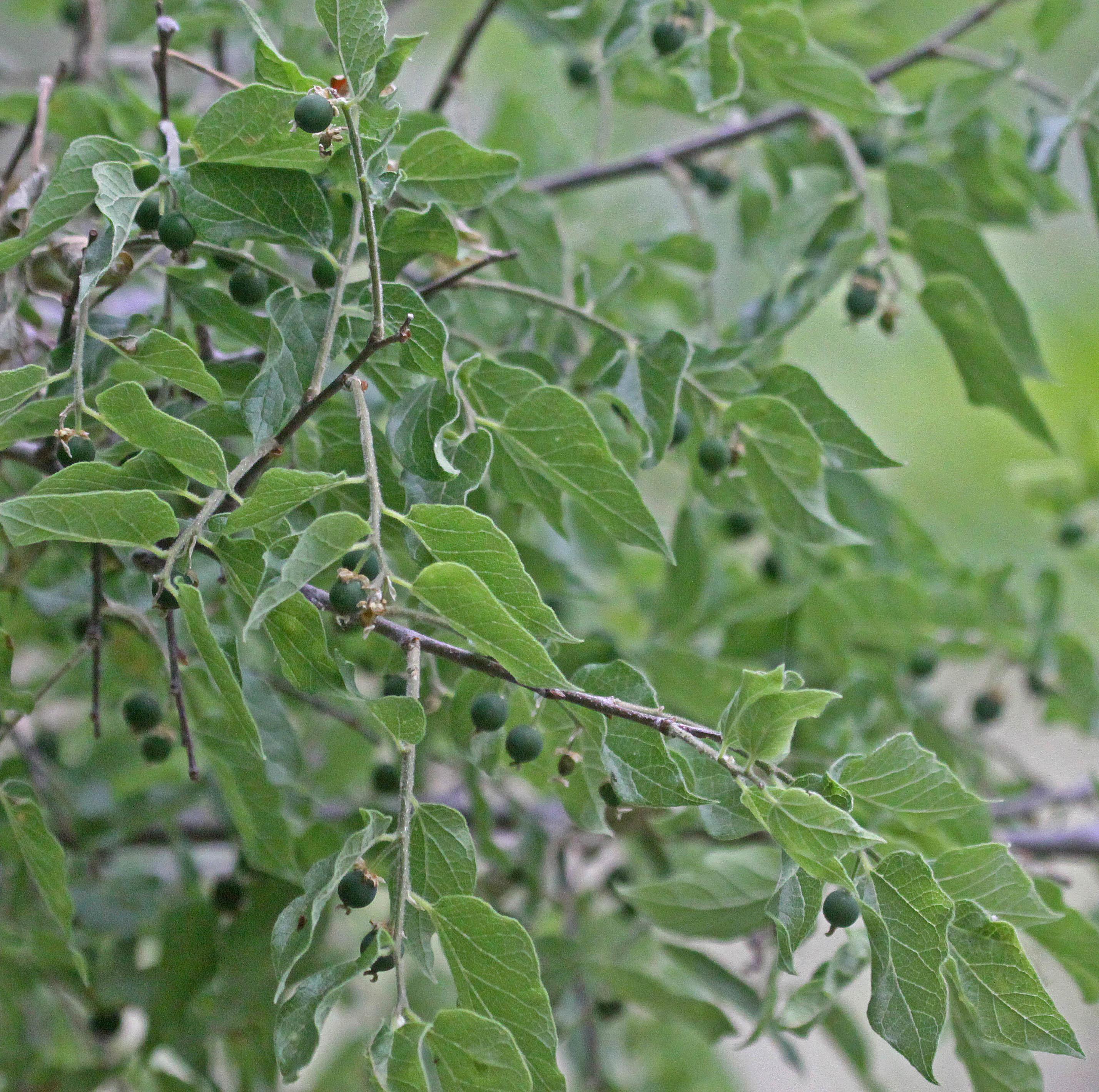 Sivun <i>Celtis pallida</i> Torr. kuva