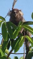 Image of Common Marmoset