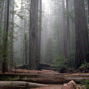 Image of redwood