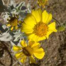 Image of brittlebush