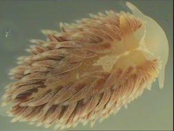 Image of common grey sea slug