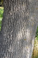 Image of <i>Fraxinus angustifolia</i> Vahl