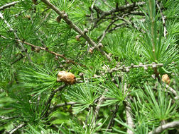 Image of American Larch