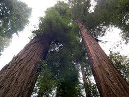 Image of redwood