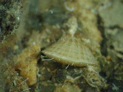Image of <i>Megathiris detruncata</i> (Gmelin 1791)