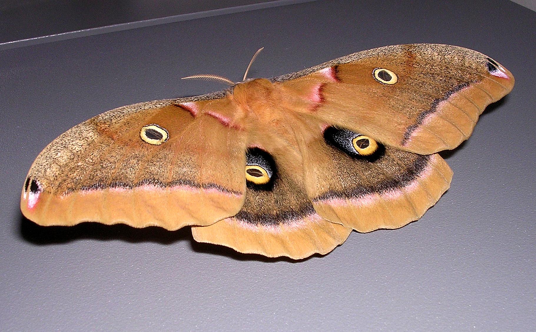 Image of Polyphemus Moth