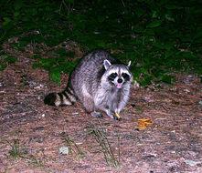 Image of raccoon, northern raccoon