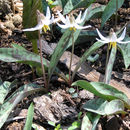 Image of White Trout Lily