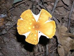 Image of Orange Amanita