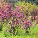 Image of Chinese Redbud