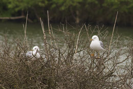 Image of common gull