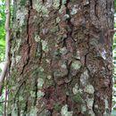 Image of <i>Bowdichia virgilioides</i> Kunth