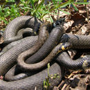 Image of Grass Snake