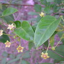 Image of <i>Tylophora indica</i> (Burm. fil.) Merr.