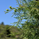 Image of <i>Juniperus thurifera</i> L.