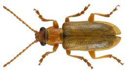 Image of <i>Orsodacne cerasi</i> (Linnaeus 1758) Linnaeus 1758