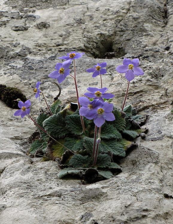 Image of Pyrenean-Violet