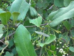 Image of <i>Aristolochia indica</i> L.