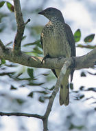Image of Scaly-throated Honeyguide