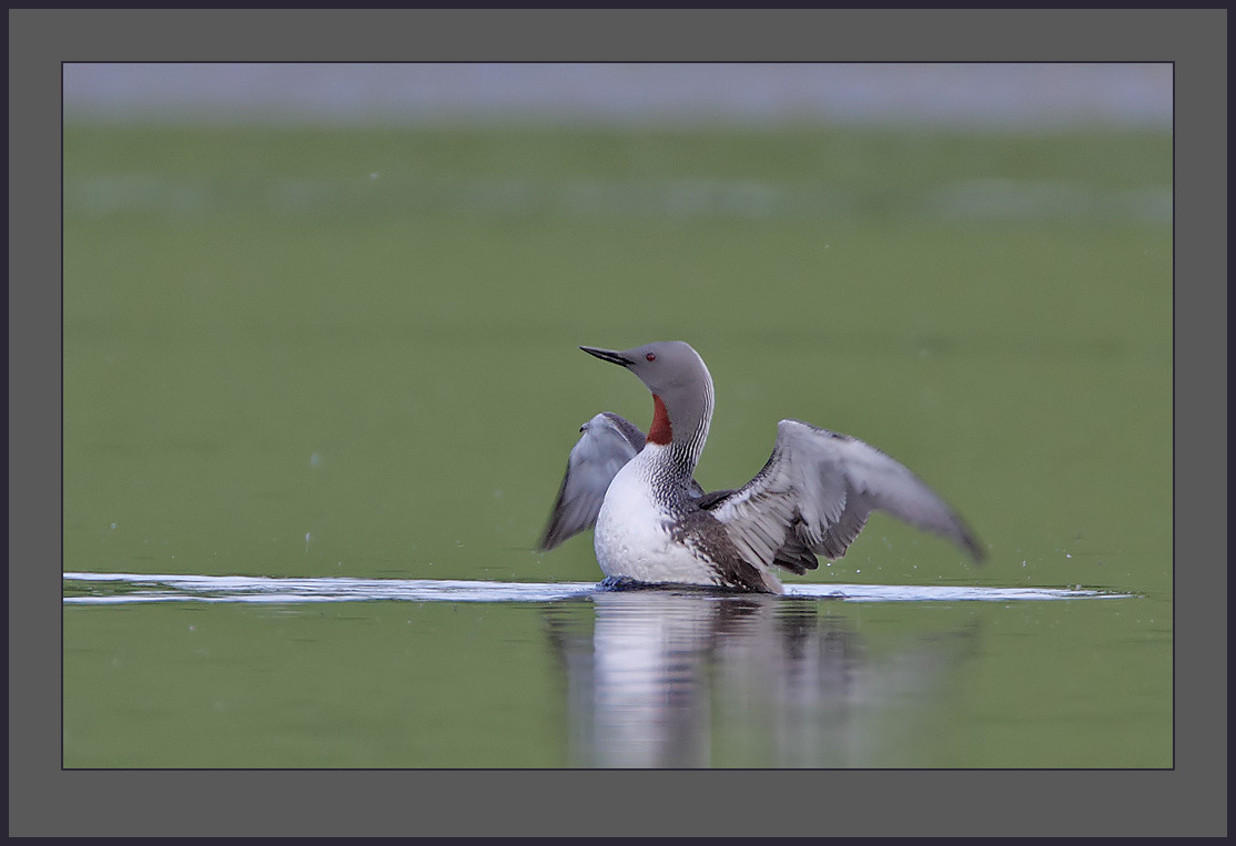 Image of Red-throated loon
