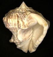 Image of <i>Vasum rhinoceros</i> (Gmelin 1791)