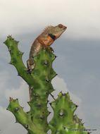 Image of Changeable lizard