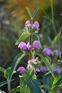 Image of <i>Phlomis herba-venti</i> L.