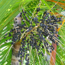 Image of Assai palm